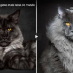As 13 Raças de Gatos Mais Raras do Mundo