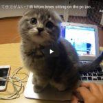 Gatinho Adora Sentar no PC